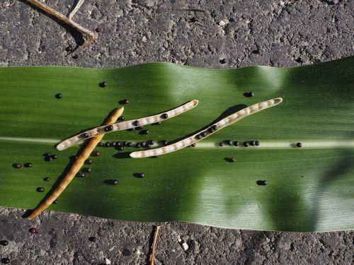 rape pod oilseed rape rape seed