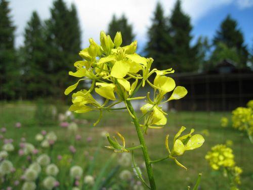 rape seed flower summer firs