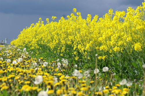 rapeseed yellow flowers summer