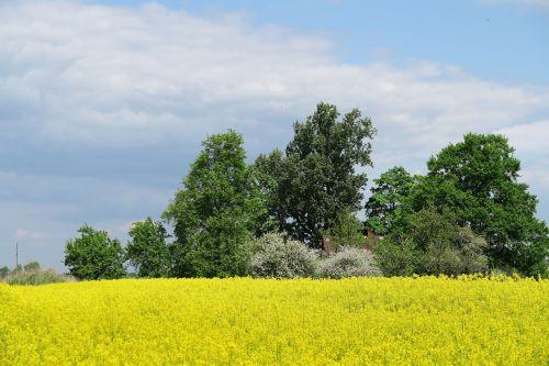 rapeseed oilseed rape yellow field