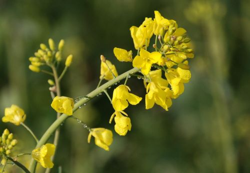 rapeseed brassica napus agriculture