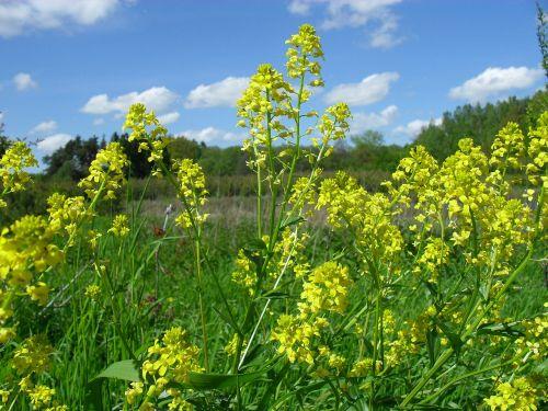 rapeseed spring summer