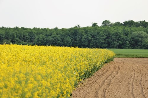 rapeseed meadow  brassica napus  agriculture