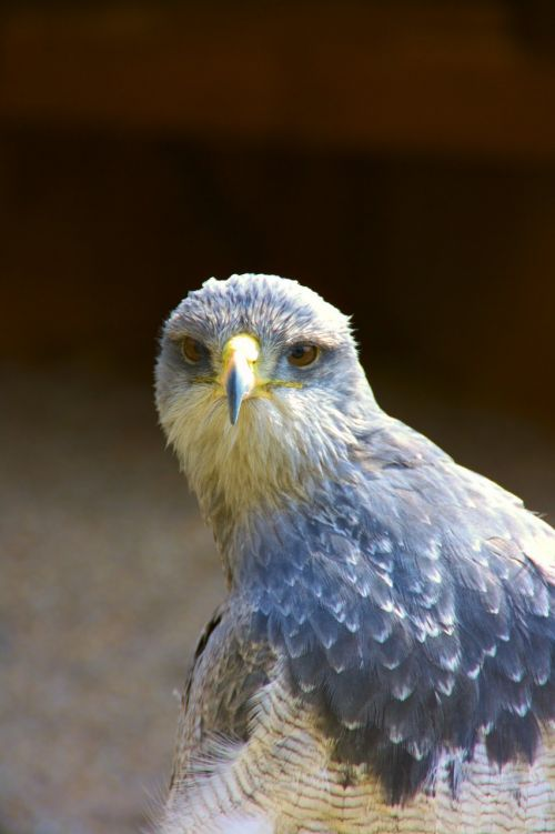 raptor bird of prey blue