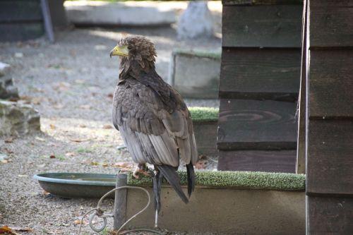raptor bird beak