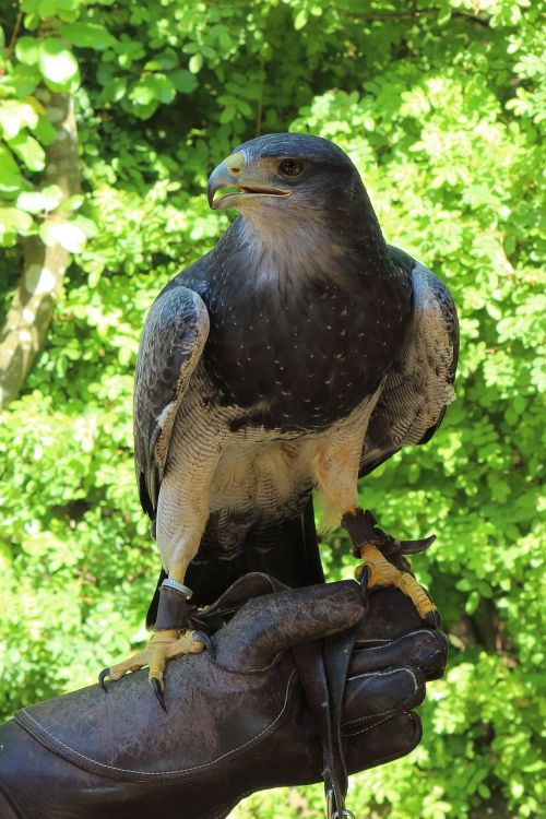 raptor adler bird of prey