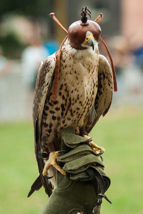 raptor hunting falcon