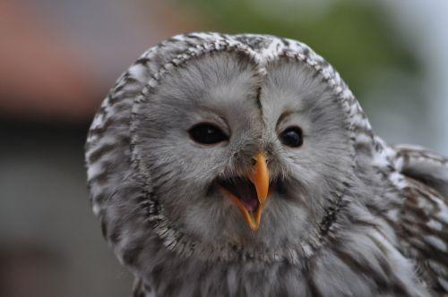 raptor owl animal