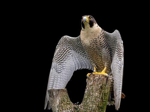 raptor peregrine falcon falcon