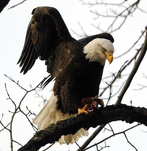 raptor  bird  eagle