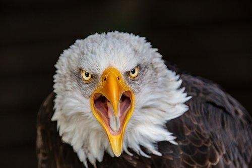 raptor  adler  bald eagle