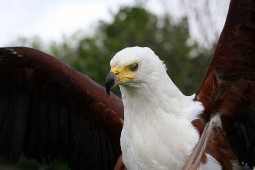 raptor eagle beak
