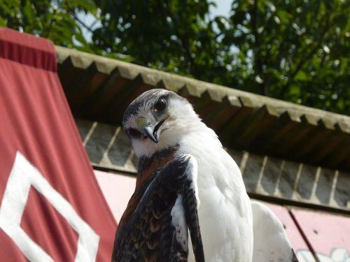 raptor falcon bird