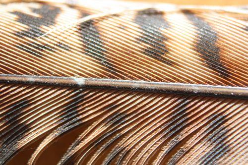 Raptor Feather