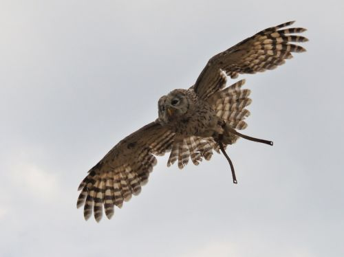 raptor in flight span wings