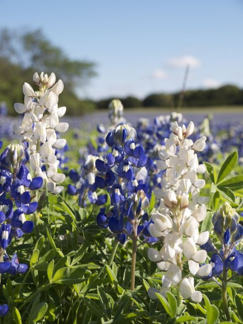 white bluebonnet lupinus texensis fabaceae