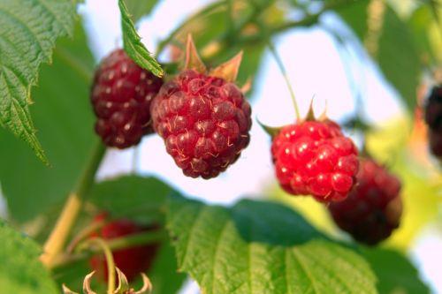 raspberries red fruit