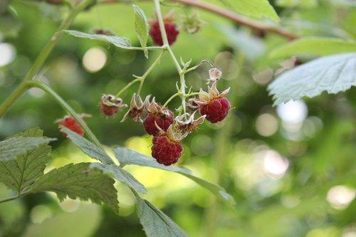 raspberries  wild raspberries  red