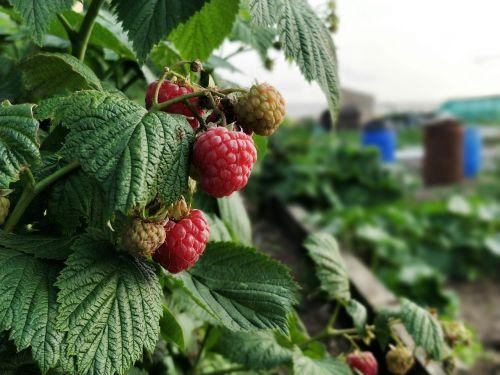 raspberry raspberries garden