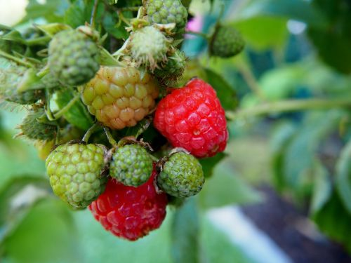raspberry fruit garden
