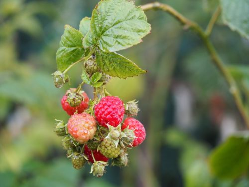 raspberry fruit bio