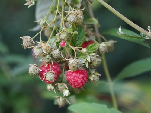 raspberry garden fruit eat