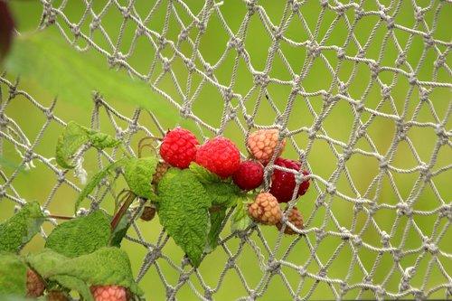 raspberry  red raspberries  plant