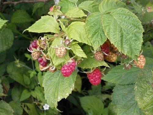 raspberry berry rubus