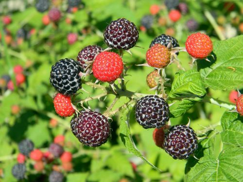 raspberry black raspberry ripe raspberry