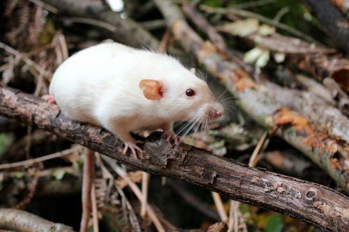 rat pet cute