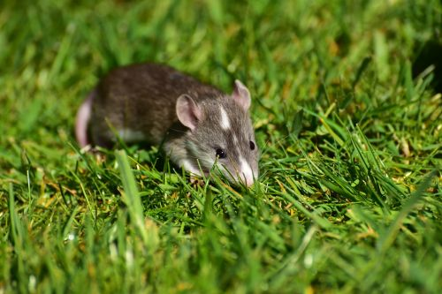 rat,baby,baby rats,small,cute,sweet,needy,nager,young animal,rodent,animal,brown,pet,small animals,fur,close