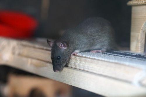 rat brown baby