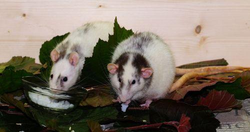 rat color rats rodents