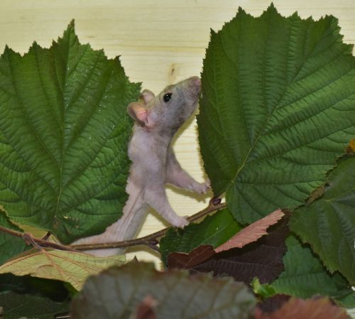 rat color rat ill
