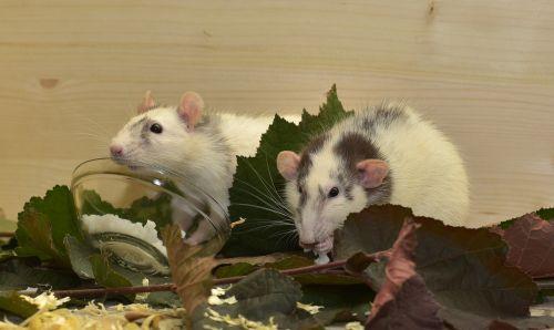 rat color rats attention