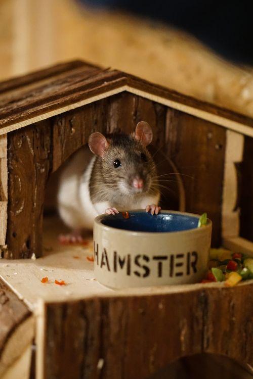 rat color rats sweet