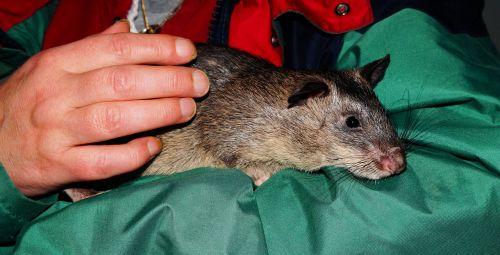 rat gambian rat giant hamster rat