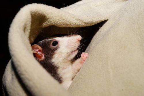 rat comfortable cuddly