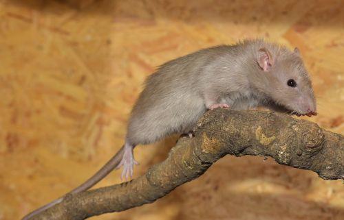 rat cute fur