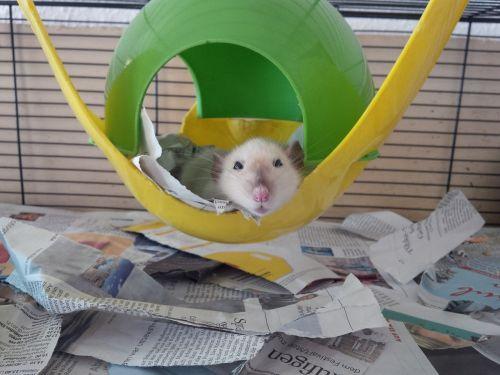 rat color rat nager
