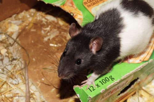 rat,pet,cage,food,head nose,males,black and white