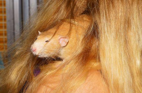 rat close hidden