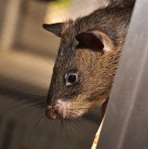 rat giant rat gambian rat