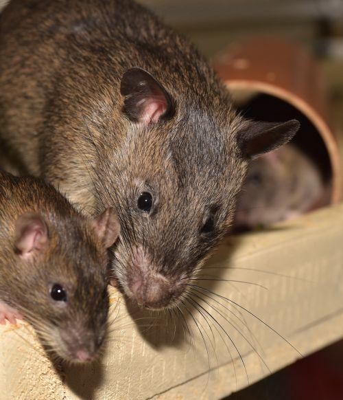 rat color rat rodent