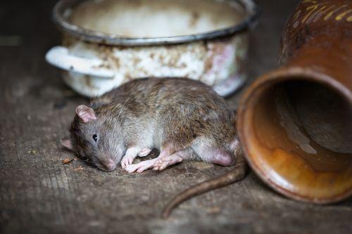 rat pet rat relax