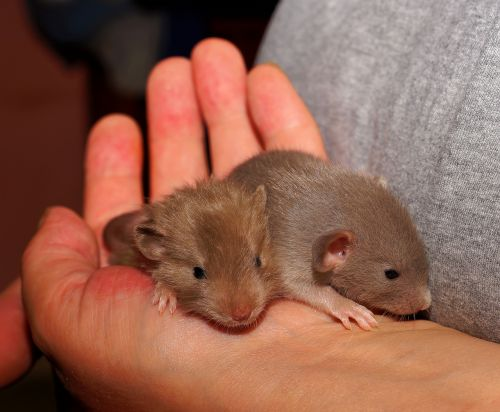 rat young animals cute