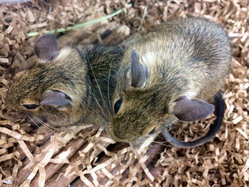 rat animal pet
