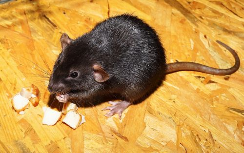 rat color rat black