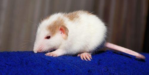 rat color rat young