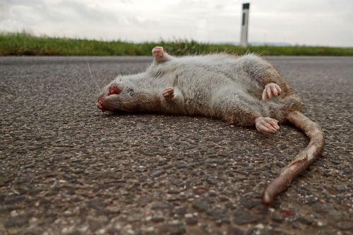 rat die mammal